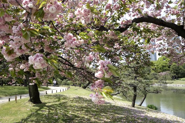 Cherry blossoms - Hama Rikyu Gardens, Tokyo